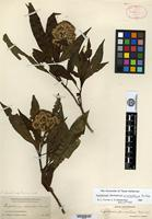 Holotype of Eupatorium pinabetense B. L. Rob. [family ASTERACEAE]