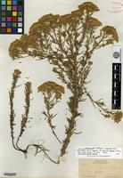 Holotype of Stevia linoides Sch. Bip. var. grisea A. Gray [family ASTERACEAE]