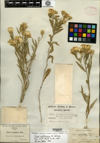 Isotype of Trixis californica Kellogg [family ASTERACEAE]