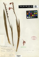Isotype of Chasmanthe peglerae N. E. Brown [family IRIDACEAE]