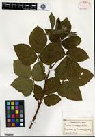 Type of Rubus clausenii L. H. Bailey [family ROSACEAE]