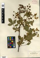 Type of Rubus glandicaulis Blanchard [family ROSACEAE]