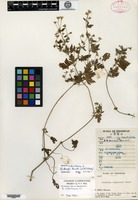 Syntype of Geranium fangii R. Knuth [family GERANIACEAE]