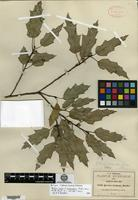 Isotype of Quercus canbyi Trelease f. ascendens Trelease [family FAGACEAE]