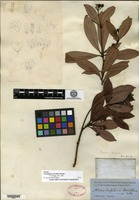 Isotype of Alseodaphne breviflora Bentham [family LAURACEAE]