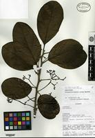 Isotype of Rhodostemonodaphne cyclops Madrinán [family LAURACEAE]