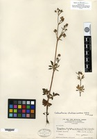 Isotype of Fagelia diversifolia Pennell [family SCROPHULARIACEAE]