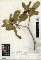 Isotype of Rauvolfia helleri Sherff [family APOCYNACEAE]