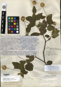 Syntype of Cordia stellata Greenman [family BORAGINACEAE]