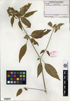 Isotype of Dicliptera guttata Standley & Leonard [family ACANTHACEAE]