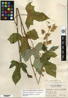 Holotype of Prenanthes altissima Linnaeus var. cinnamomea Fernald [family ASTERACEAE]
