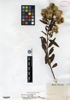 Isotype of Baccharis punctulata DC. [family ASTERACEAE]