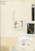 Isotype of Liparis aurita Ridley [family ORCHIDACEAE]