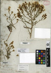 Syntype of Stephanomeria parryi A. Gray [family ASTERACEAE]