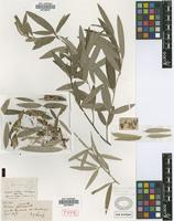 Syntype of Collaea argentina Griseb. [family FABACEAE]