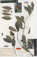 Isotype of Pycnobotrya multiflora Stapf [family APOCYNACEAE]