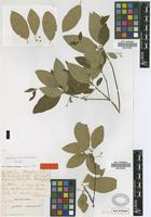 Isotype of Guettarda brevinodis Urb. [family RUBIACEAE]