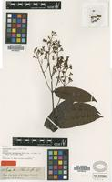 Isotype of Forsteronia benthamiana Muell.Arg. [family APOCYNACEAE]