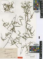Isotype of Secamone linearifolia Klack. [family ASCLEPIADACEAE]