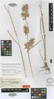 Isosyntype of Cymbopogon schoenanthus (L.) Spreng. subsp. proximus (Hochst. ex A.Rich) Maire & Weiller [family POACEAE]