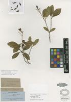 Syntype of Chione lucida Griseb. [family RUBIACEAE]