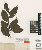 Isolectotype of Erythroxylum incrassatum O.E.Schulz [family ERYTHROXYLACEAE]