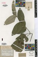 Holotype of Tetrapterys benthamiana Griseb. in Mart. [family MALPIGHIACEAE]