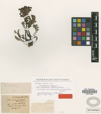 Holotype of Pedicularis bicuspidata Griseb. [family SCROPHULARIACEAE]