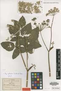 Isotype of Angelica polycarpa J.M.Coult. & Rose [family APIACEAE]
