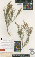 Isotype of Teline osyroides (Svent.) P.E.Gibbs & Dingwall subsp. sericea (Kuntze) M.del Arco [family FABACEAE]