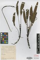 Paratype of Elaphoglossum inquisitivum M.Kessler & Mickel [family PTERIDOPHYTA]