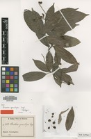 Syntype of Rinorea gracilipes Engl. [family VIOLACEAE]