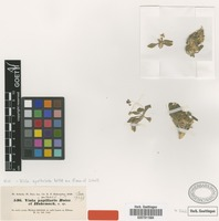 Isotype of Viola papillaris Boiss. & Hohen. [family VIOLACEAE]