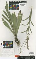 Type of Picris evae Lack [family ASTERACEAE]