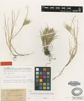 Isotype of Bromus mandonianus Henrard [family POACEAE]