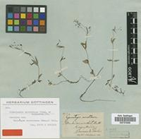 Isotype of Gerontogea microtheca Cham. & Schltdl. [family RUBIACEAE]