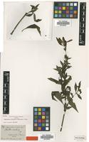 Isotype of Hygrophila rivularis (Schltdl.) Nees [family ACANTHACEAE]
