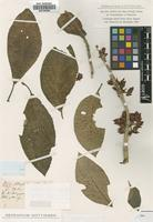 Holotype of Alloplectus ichthyoderma Hanst. [family GESNERIACEAE]