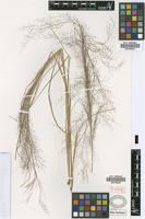 Type of Airopsis millegrana Griseb. [family POACEAE]