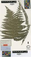 Type of Cyathea elegans Heward [family PTERIDOPHYTA]