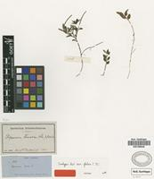 Isotype of Peperomia tenella (Sw.) A.Dietr. var. glabra C.DC. [family PIPERACEAE]