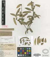 Lectotype of Croton yunquensis Griseb. [family EUPHORBIACEAE]