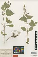 Type of Cuphea koehneana Rose [family LYTHRACEAE]
