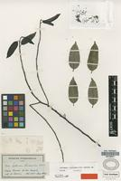 Isotype of Aptandra liriosmoides Spruce ex Miers [family OLACACEAE]