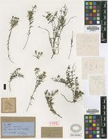 Holotype of Polygala chloroneura Griseb. [family POLYGALACEAE]