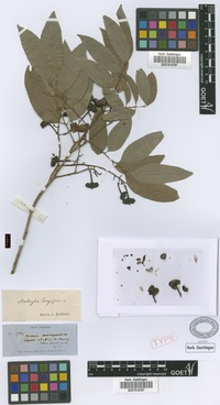 Syntype of Matayba longipes Radlk. [family SAPINDACEAE]