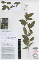 Syntype of Desdmodium adscendens (Sw.) DC. fo. glabrescens Schindl. [family FABACEAE]