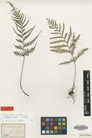 Isotype of Tapeinidium luzonicum (Hook.) K.U.Kramer [family PTERIDOPHYTA]
