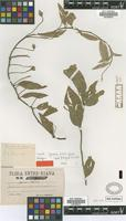 Holotype of Ipomoea nitida Griseb. [family CONVOLVULACEAE]