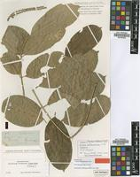 Lectotype of Guarea hoffmanniana C.DC. [family MELIACEAE]